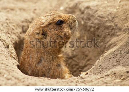 Portrait of a ground squirrel feeding - stock photo