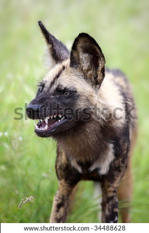Portrait of a growling African Wild dog; Lycaon pictus