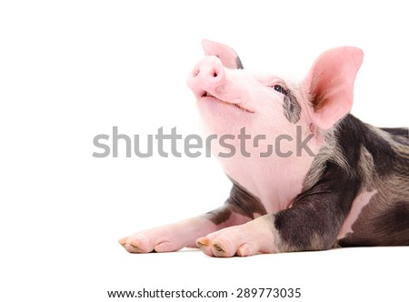 Portrait of a grunting piglet isolated on white background - stock photo