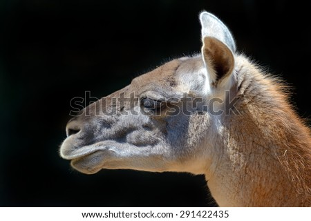 Portrait of a Guanaco in the wild natural habitat