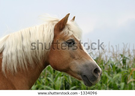 portrait of a haflinger horse