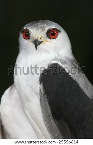 Portrait of a handsome black-shouldered kite bird with striking red eyes - stock photo