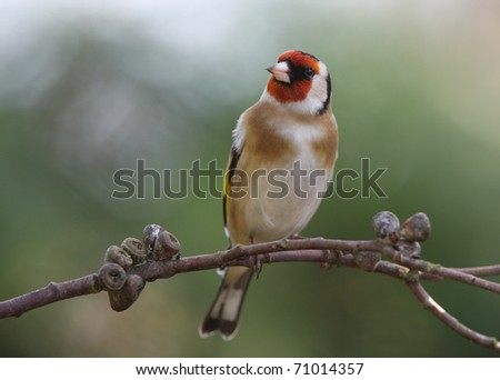 Portrait of a handsome male Goldfinch - stock photo