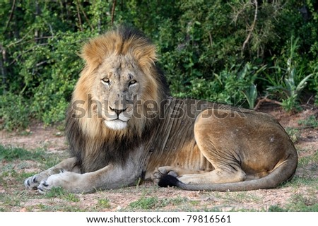 Portrait of a handsome male lion with battle scars on his snout - stock photo