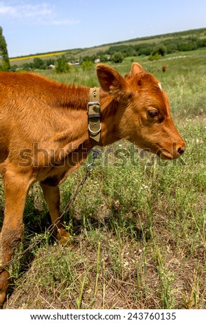 Portrait of a handsome young calf cow that grazed on a summer pasture with lush green grass on a hot sunny summer day