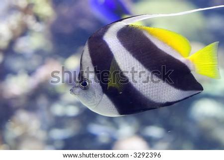 Portrait of a Heniochus Black & White Butterflyfish (Heniochus acuminatus). - stock photo