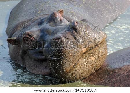 Portrait of a hippo (Hippopotamus amphibius) in a pool in Serengeti National Park, Tanzania - stock photo