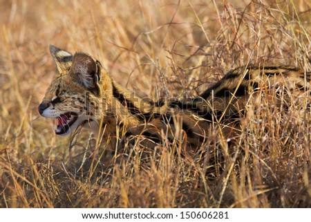 Portrait of a hissing Serval cat, it was attacked by two cheetahs, but it survived in Masai Mara, Kenya - stock photo