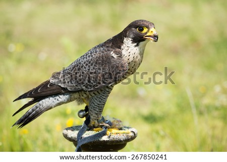Portrait of a Hobby Falcon (Falco subbuteo) during feeding - stock photo