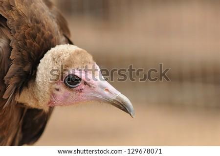 Portrait of a Hooded Vulture (Necrosyrtes monachus) - stock photo