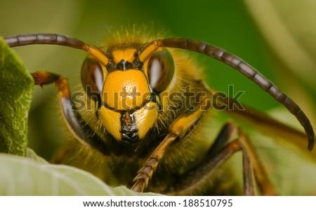 portrait of a hornet - stock photo