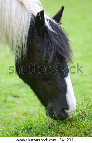 Portrait of a horse grazing in a field - stock photo