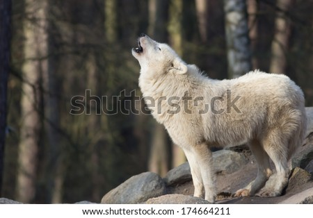 portrait of a  howling white wolf standing on grey rocks in a forest   - stock photo