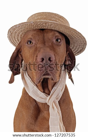 portrait of a Hungarian Vizsla hunting dog with straw hat and scarf n white background - stock photo
