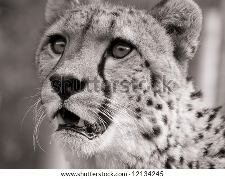 Portrait of a hunting cheetah - stock photo