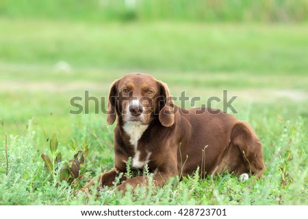 Portrait of a hunting dog on the lawn