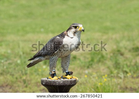 Portrait of a hunting falcon (Falco rusticolus) - stock photo