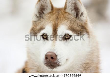 Portrait of a husky dog - stock photo