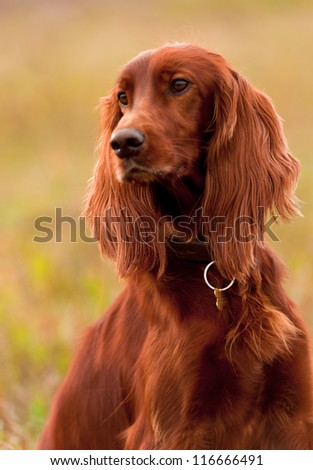 Portrait of a irish red setter, vertical