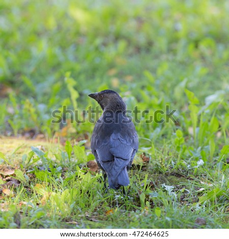 Portrait of a jackdaw in the green grass