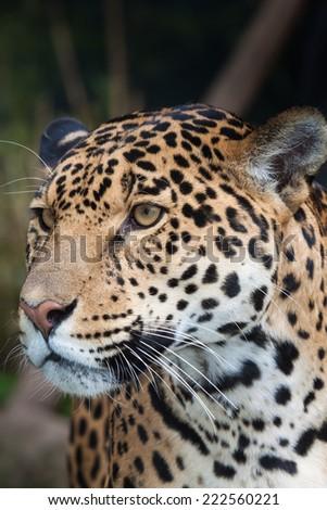 portrait of a jaguar in the dark jungle - stock photo