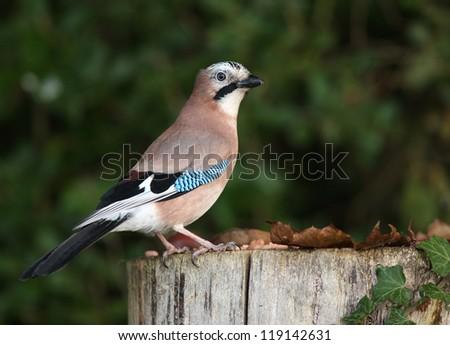 Portrait of a Jay feeding on a tree stump in autumn - stock photo