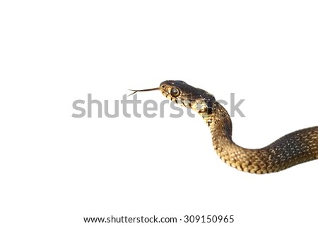 portrait of a juvenile grass snake ( Natrix ) isolated over white background - stock photo