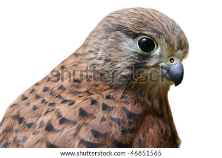 Portrait of a kestrel falcon of a white background - stock photo