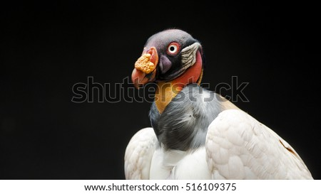 portrait of a king vulture on a black background