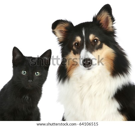 Portrait of a kitten and dog Shetland sheepdog. Isolated on a white background - stock photo