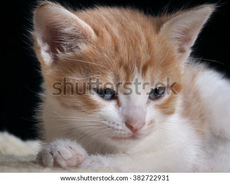 Portrait of a kitten. Muzzle kitten large. Blue eyes cat with yellow. The fur is red and white. Background black. Fluffy white paws. Cat Muzzle close. Cute kitten with beautiful fur - stock photo