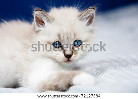 Portrait of a kitten with blue eyes and  clear fur, lying on a bed ,ready to play. - stock photo