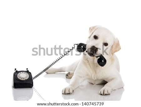 Portrait of a labrador retriever holding a telefone with mouth - stock photo