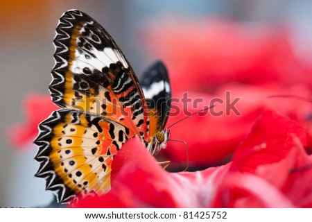Portrait of a Lacewing butterfly, also known as Cethosia cyane