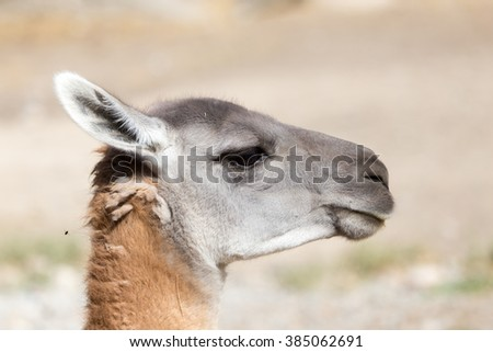 Portrait of a Lama  in nature