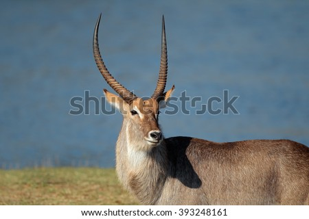 Portrait of a large waterbuck bull (Kobus ellipsiprymnus), South Africa