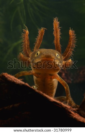 portrait of a larva of the crested newt triturus cristatus juvenile amphibian with large gills endangered species living in small freshwater ponds water animal - stock photo