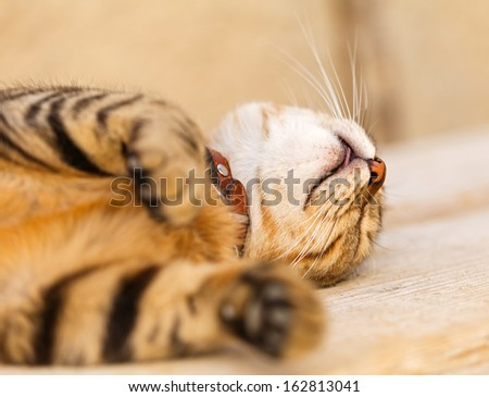 Portrait of a lazy cat lying on the table - stock photo