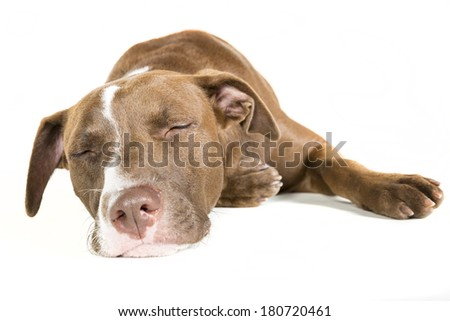 Portrait of a lazy sleeping young Pitt Bull and Labrador Retriever mix lying down isolated on white. - stock photo