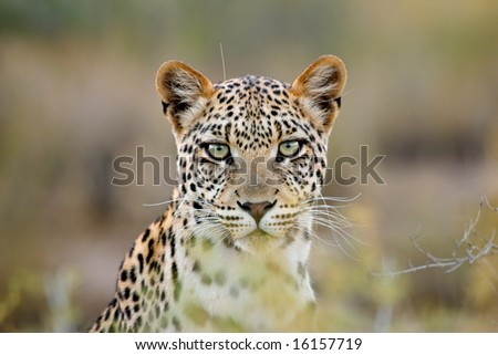 Portrait of a leopard (Panthera pardus), Kalahari desert, South Africa - stock photo