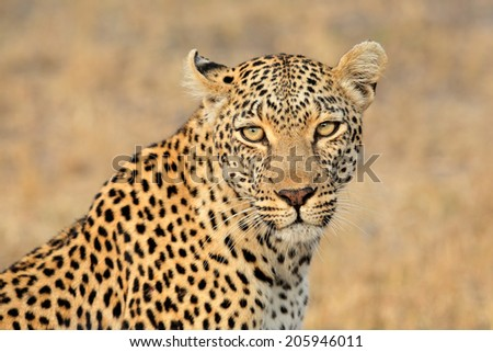 Portrait of a leopard (Panthera pardus), Sabie-Sand nature reserve, South Africa  - stock photo