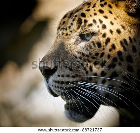 portrait of a leopard with dramatic illumination in the eye. - stock photo