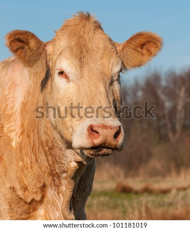 Portrait of a light brown cow against a blurred natural background in the Netherlands. - stock photo