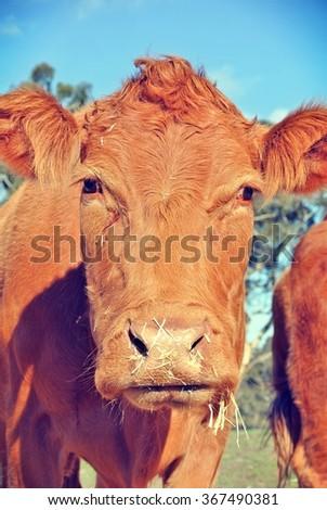 Portrait of a Limousin cow - stock photo