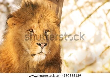 portrait of a lion - stock photo