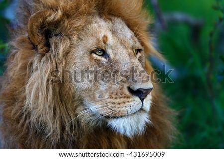 Portrait of a Lion from Rekero Pride in Masai Mara, Kenya - stock photo
