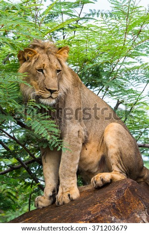 Portrait of a lion in Zimbabwe, Africa