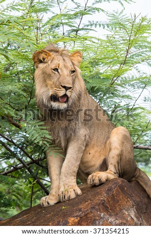 Portrait of a lion in Zimbabwe, Africa - stock photo