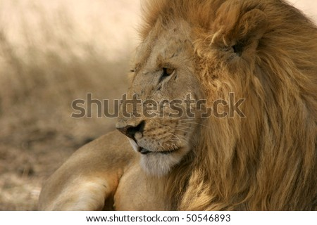 Portrait of a lion lying under a tree - stock photo