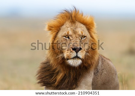 Portrait of a Lion male after eating in Masai Mara, Kenya - stock photo